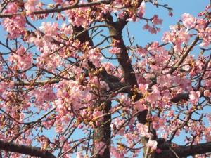 桜なんです!!!