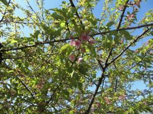 葉桜もあざやか・・・